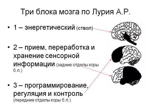 Три функциональных блока мозга (А.Р. Лурия)