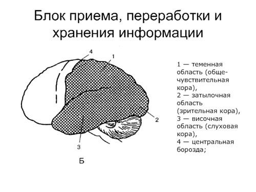 Второй блок мозга